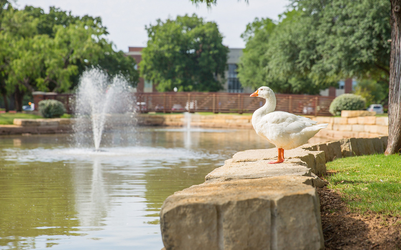 Photo of HSU unofficial mascot, Gilbert the Goose, gazing majestically at the pond.
